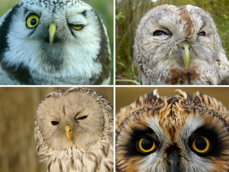 ural owl: Collage: Owls of Europe - Ural Owl, Hawk Owl, Tawny Owl and Short-eared Owl. Stock Photo