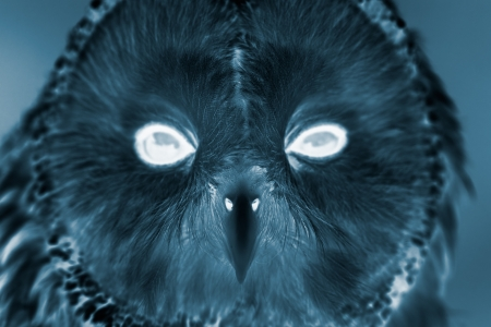 ural owl: Portrait of Ural Owl (Strix uralensis). Infrared effect. Stock Photo