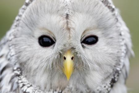 Portrait of Ural Owl (Strix uralensis). Stock Photo - 16701113