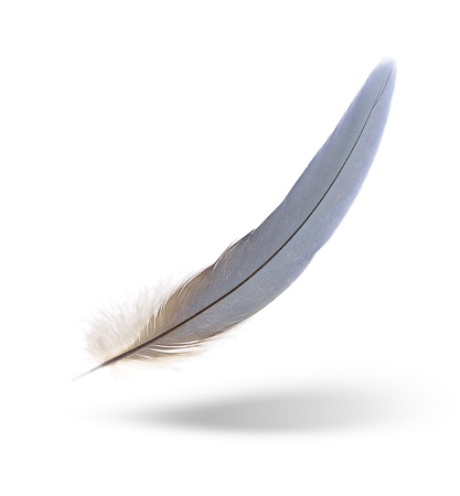 falling feather: The feather of macaw with shadow on white