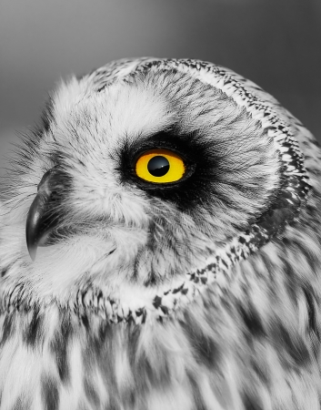 Portrait of the Short-eared Owl  (Asio flammeus). Black and white effect. photo