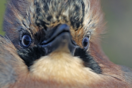 garrulus: Portrait of Jay (Garrulus glandarius) close-up. Stock Photo