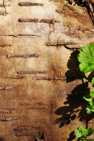 Background of  birch bark close up. Stock Photo - 17219081