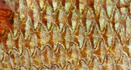 The fish scale close up. Stock Photo - 17300386