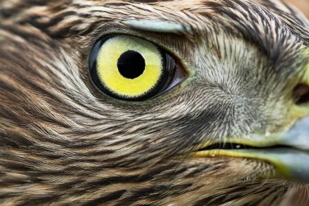 azor: Las aves de Europa - Norte de azor (Accipiter gentilis). Foto de archivo