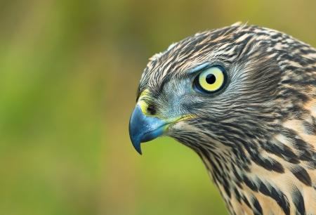 sparrowhawk: Birds of Europe - Northern Goshawk  Accipiter gentilis