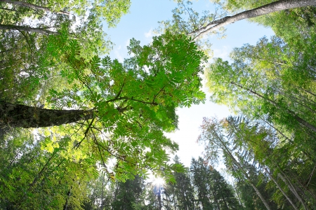 directly below: forest - low angle shot in summer, fish eye lens
