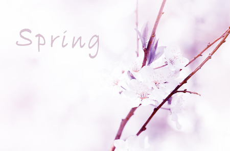 spring concept - branch of blossoming apple tree,  Radiant Orchid  is the color of the Year 2014 photo