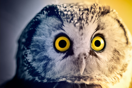 boreal: The Boreal Owl at sunrise. Concept - the dark and the light. Stock Photo
