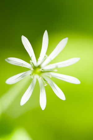 chickweed: Flower Chickweed Close Up In Spring Stock Photo