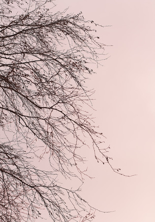 bare branches of trees in magenta color tone photo