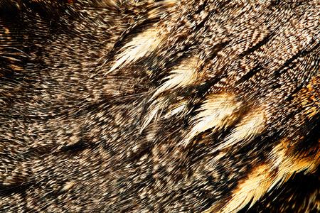 The fragment of plumage of an European Nightjar  photo