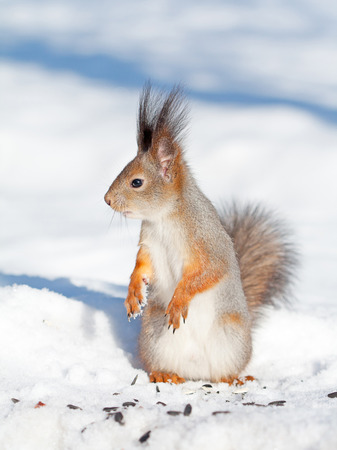 squirrel and sunflower seeds on a snow in winter photo