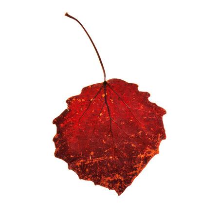 aspen leaf: orange leaf of a aspen tree isolated on white Stock Photo