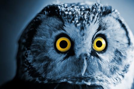 boreal: The Boreal Owl at night.