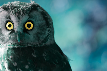 night owl: Boreal Owl in the darkness