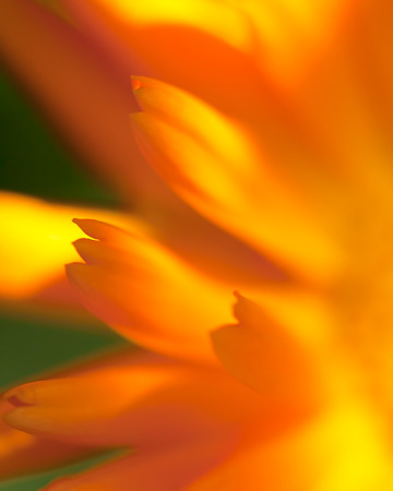 Calendula -  beautiful flower close up Stock Photo - 27140739