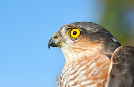 Birds of Europe - Sparrow-hawk (Accipiter nisus). photo