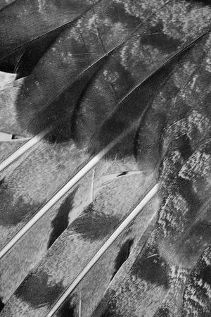 black plumage: plumage background of eagle-owl closeup, black and white photo