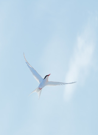 Arctic Tern in the sky, concept of a wind energy photo