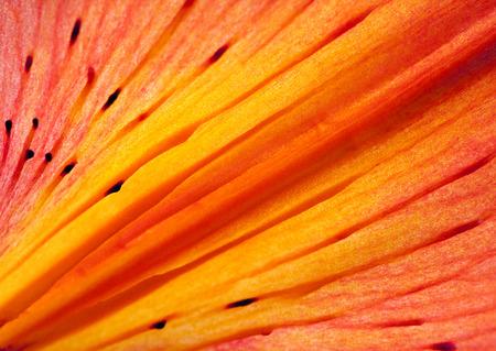 oranje lelie: oranje lelie achtergrond