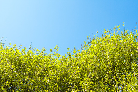 well maintained: crone of a willow tree against blue sky Stock Photo