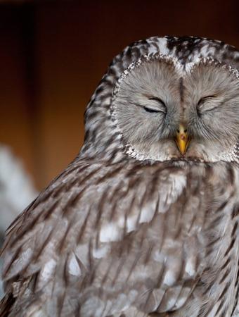 Portrait of sleeping Ural Owl (Strix uralensis). Stock Photo