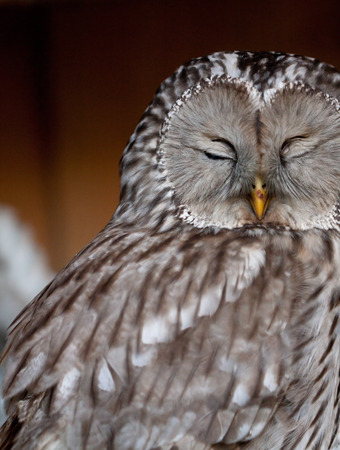 ural owl: Portrait of sleeping Ural Owl (Strix uralensis). Stock Photo