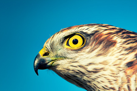Birds of Europe - Sparrow-hawk (Accipiter nisus) against blue sky photo