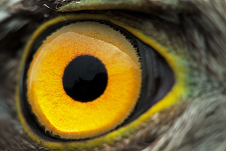 close eye: bird eye close-up, macro effect photo of Sparrow Hawk (Accipiter nisus) Stock Photo