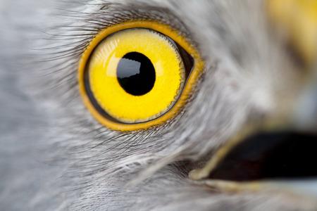 natural force: bird eye close-up, macro effect photo of Hen Harrier (Circus cyaneus) Stock Photo