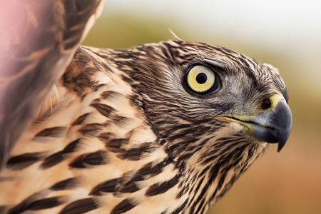 accipiter gentilis: Birds of Europe - Northern Goshawk (Accipiter gentilis).