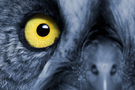 animal eye: Portrait Of The Great Grey Owl (Strix nebulosa). Nights effect. Stock Photo