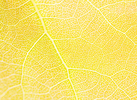 aspen leaf: Leaf Of An Aspen Tree Close Up - Abstract Background, High Key Photo Effect