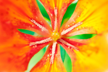 orange lily: beatiful orange lily close up Stock Photo