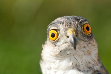 asombro: Pájaros de Europa - Gorrión-halcón (Accipiter nisus). Concepto emoción - Asombro. Foto de archivo