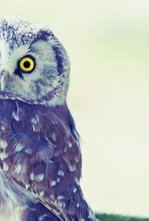 boreal: Boreal Owl (Aegolius funereus) at sunrise