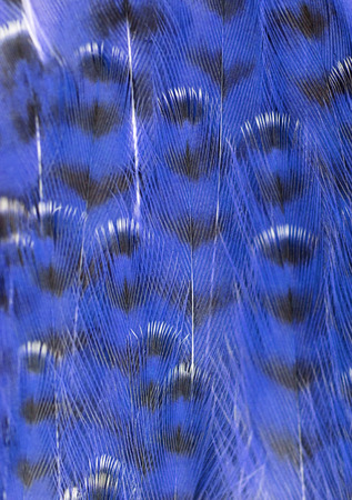 blue plumage background of bird closeup