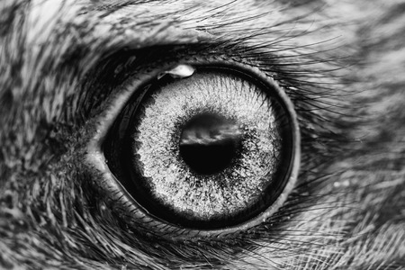 natural force: bird eye close-up, macro effect photo of Hen Harrier (Circus cyaneus), black and white photo