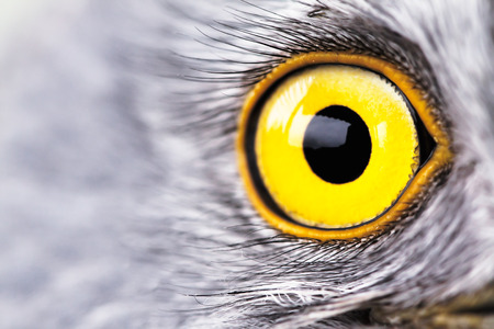 bird eye close-up, macro effect foto van Blauwe Kiekendief (Circus cyaneus) Stockfoto
