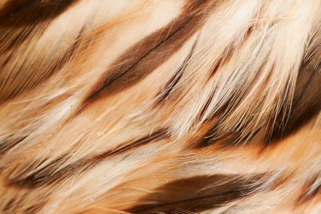 sparrowhawk: plumage background of a sparrow-hawk closeup Stock Photo