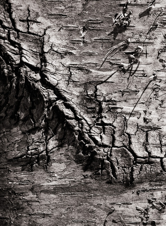 social grace: background of a birch bark close up