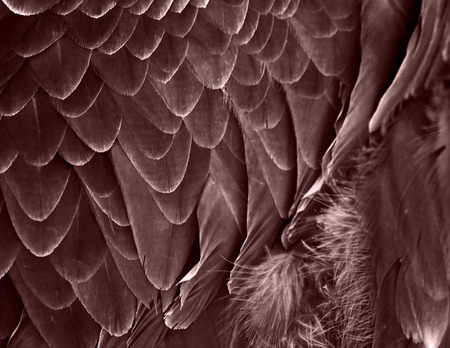 aguila real: El plumaje de fragmento de un águila dorada. Tono de color rojo oscuro.