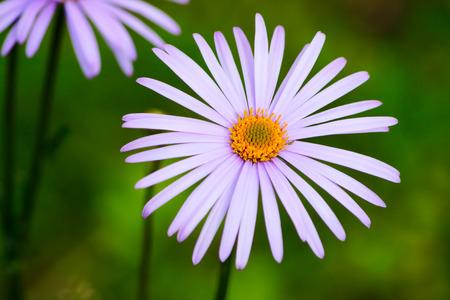 gerbera daisy: The Gerbera Daisy on a grass background.