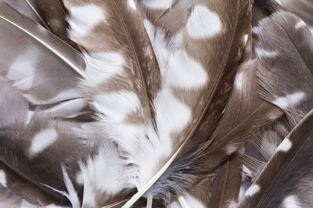 boreal: pen feathers of Boreal Owl background close up Stock Photo