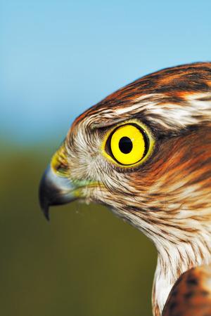 sparrowhawk: Birds of Europe - Sparrow-hawk (Accipiter nisus).