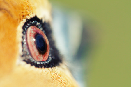 unusual: unusual portrait of Hawfinch (Coccothraustes coccothraustes)