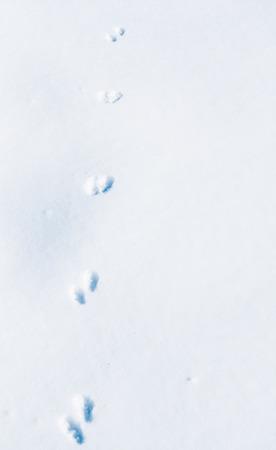 visone: impronte di un visone americano sulla neve