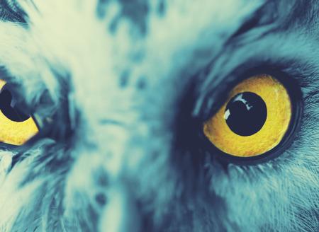 boreal: portrait of Boreal Owl (Aegolius funereus), cross-processing effect