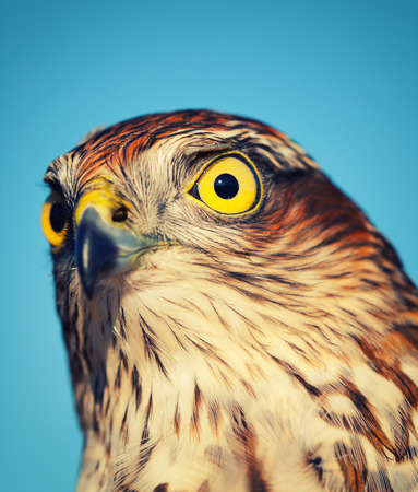 sparrowhawk: Birds of Europe - Sparrow-hawk (Accipiter nisus), retro style effect Stock Photo